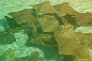 manta-rays-332812_640